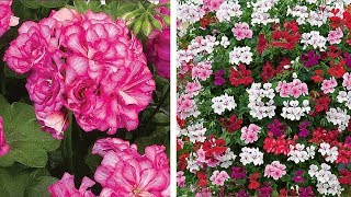 How To Plant Trailing Geraniums Video: Jeff Plants Summer Hanging Baskets