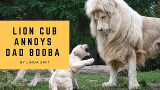 Life at the zoo | Lion cub annoys his dad. Cubs are taught a lesson