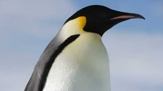 Императорский пингвин - Emperor Penguin (Энциклопедия животных)