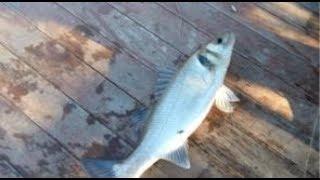 Canlı balık ile müthiş levrek avı 1,5 kg