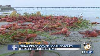 ◄|شاهد| سكان كاليفورنيا يكتشفون مخلوقات غريبة على الشاطئ: اعتقدوا أنها «جراد البحر» - المصري لايت