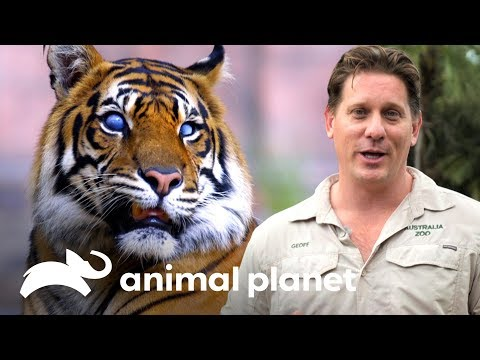 Tigre Con Ojos Prostéticos Es Revisado Por Oftalmóloga | Los Irwin | Animal Planet
