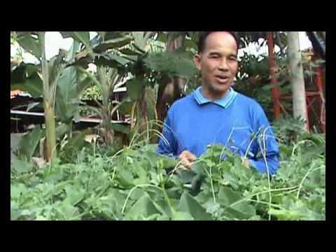 ปลูกผักตำลึงที่บ้านหนองฮี