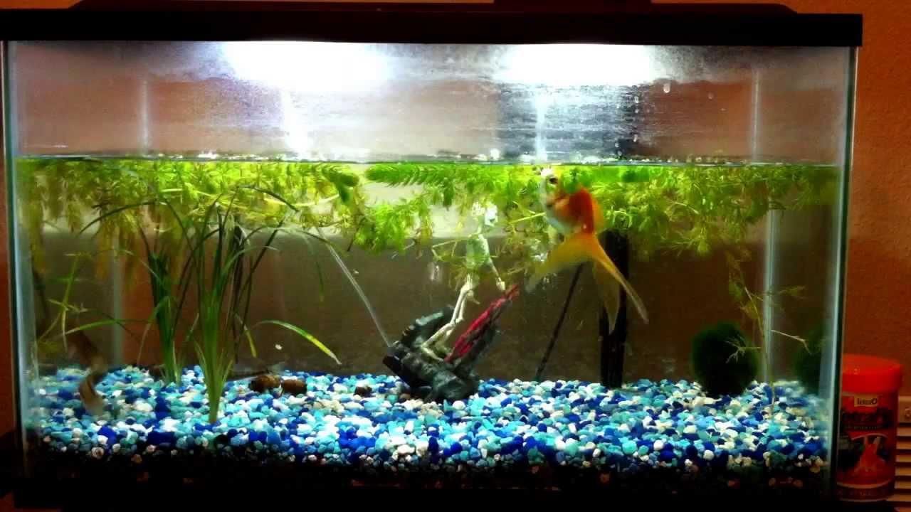 Freshwater aquarium fish loach - Feeding My Dojo Loach And Gold Fish In The New Tank