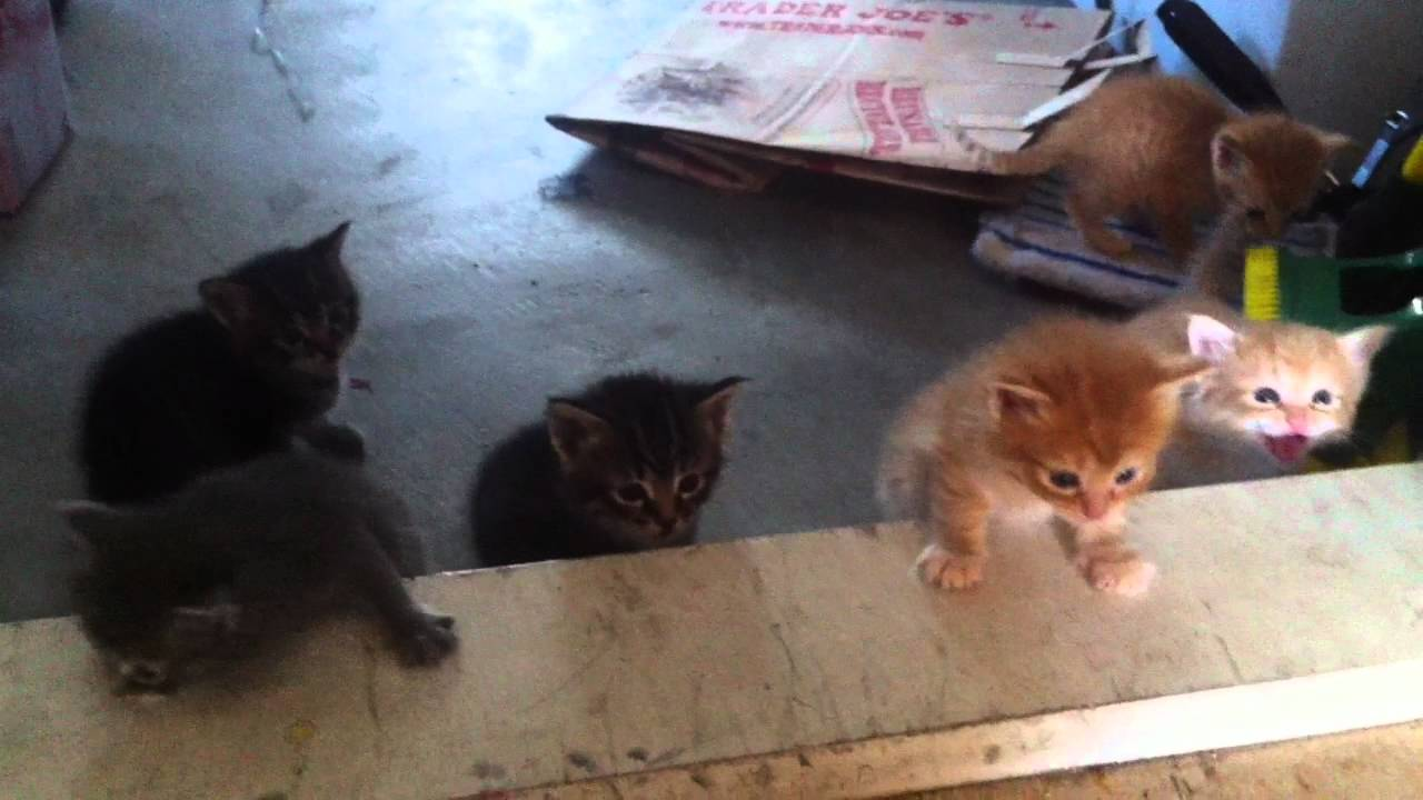 4 week old cute baby kittens and their mother ready for playtime