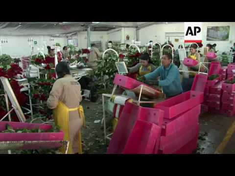 Exported roses checked for cocaine in Colombia