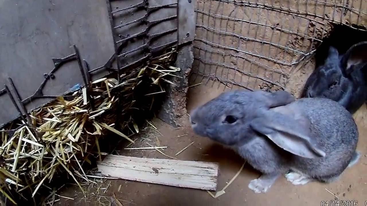 упомянул Плюсы и минусы разведения кроликов вернутся