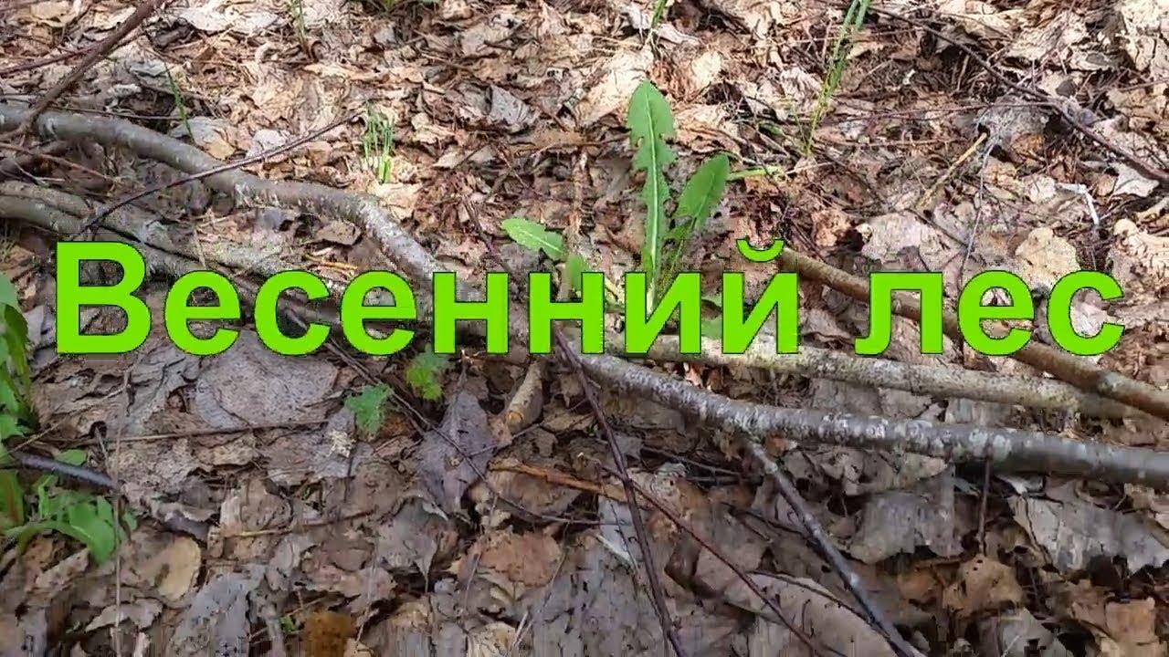 Грибы 2018. Весенний лес. Сморчки, строчки и ёжик - YouTube