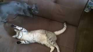 猫ブログ「拾い猫 ハムとマロの日常」やってます。 http://derofami.com/