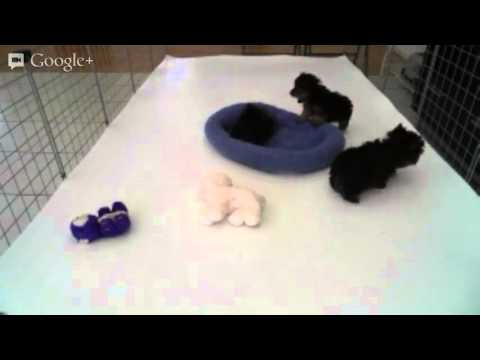 Luxury Tiny Micro Teacup Yorkies For Sale In Los Angeles Youtube