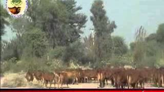 history of sahiwal cow  PART 1.flv