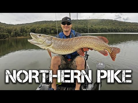 GIANT Northern Pike Caught From Kayak In PA