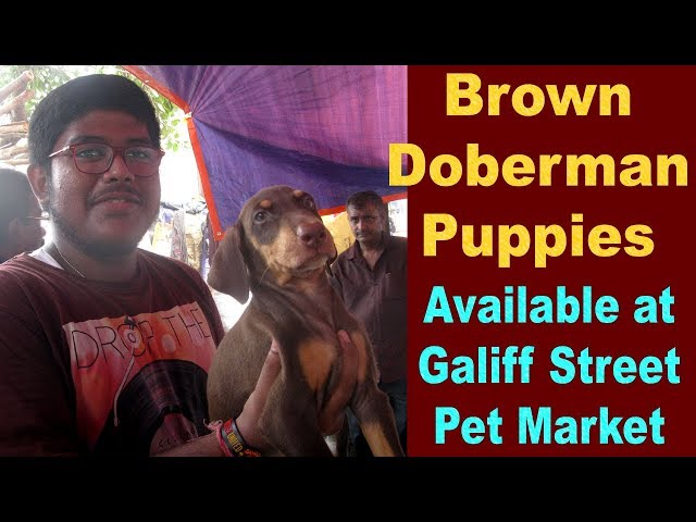 Doberman Puppies Sell at Galiff Street Pet Market Kolkata