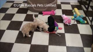 Little Rascals Uk Breeders New Litter Of Cockapoo