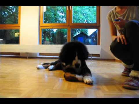 Bajzel 4 and a half month puppy tricks Bernese Mountain Dog