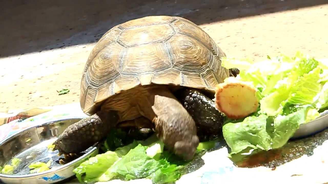 Desert Tortoise Eating Romaine Lettuce Is Very Curios