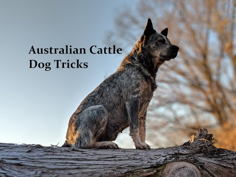 Australian Cattle Dog 1 year 5 month old tricks