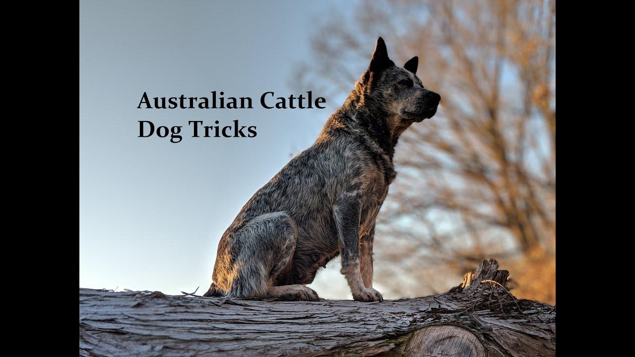 Dog Agility Training Adelaide