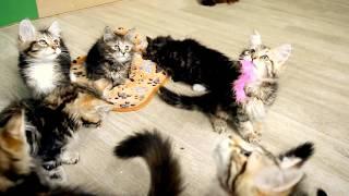 Сибирские котята, два помета д.р 02.04.2017г. и 28.04.2017г. Spark Heart