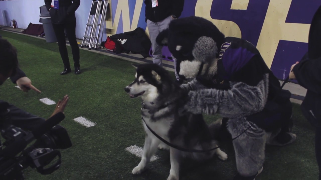 a day in the life of dubs the uw s mascot youtube