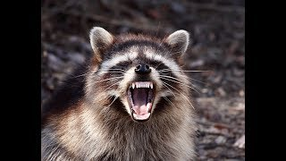What To Do If A Raccoon Attacks You