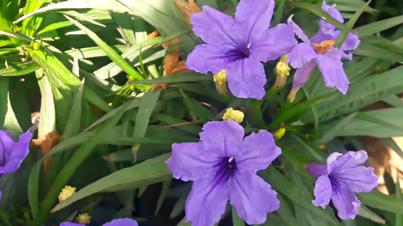 How To Collect Mexican Petunia Ruellia Plant Seeds Hindi Youtube