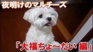 子犬マルチーズ 大福の写真で作りましたLINEスタンプです! https://...