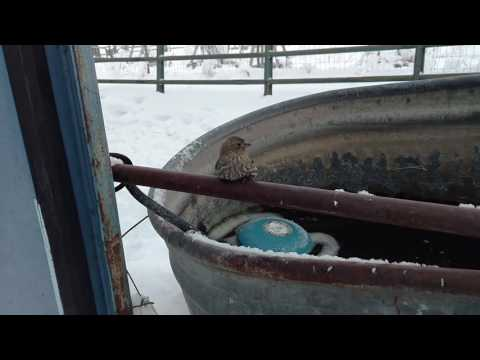 Finch Frozen to Fence Rescue