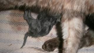 Кошка рожает. Окот у кошки. Необыкновенная кошка. The cat gives birth. Okoth the cat. Unusual cat.