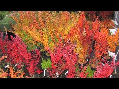 Осенние кустарники.  Салют, Барбарисы!