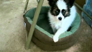 Jack the Puppy Moves His Bed Thumbnail