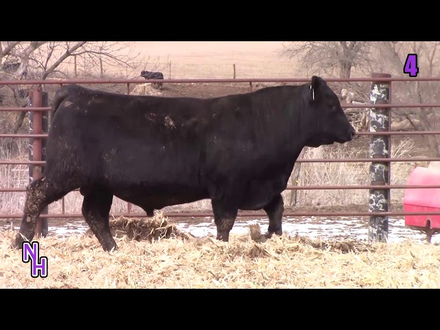 New Haven Angus Lot 4