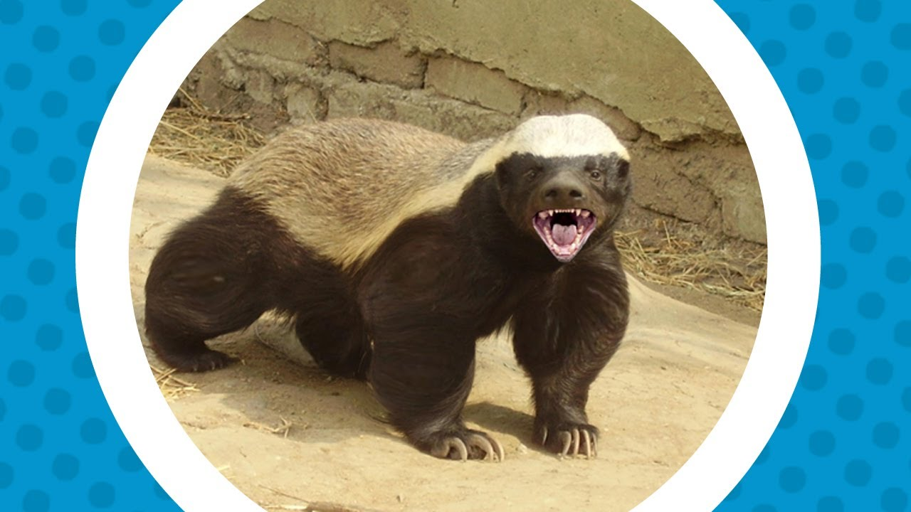 The Crazy Nastyass Honey Badger - The Popped Version - YouTube