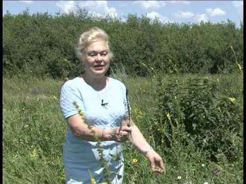 Применение травы шалфея -