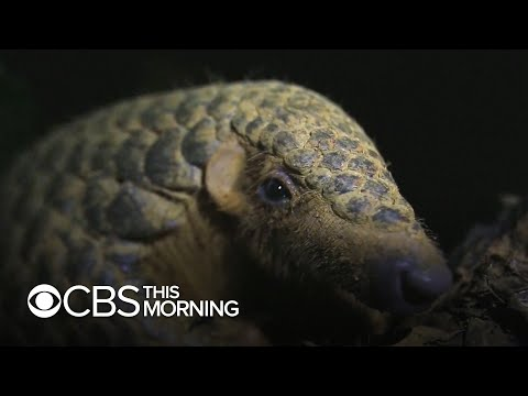 Pangolins could face greater threat due to coronavirus fears