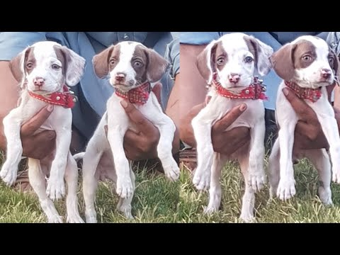 English Pointer Puppies Available   Ready For Hunting Training