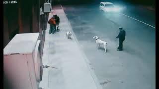 Bull Terrier & Dogo Argentino Face to Face 2019 #kairosprideemirat #dannybullterrier #bullterrier