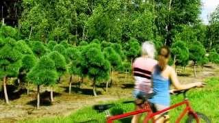 Sosna bonsai niwaki Jagra. Duże sosny. Drzewa. Niwashi.