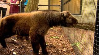 Baby Takin in Nursery with Dog Playmate - Cincinnati Zoo