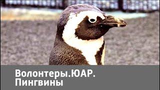 Волонтеры. ЮАР. Пингвины | Живая Планета