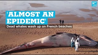 'Almost an epidemic': Dead whales wash up on French beaches