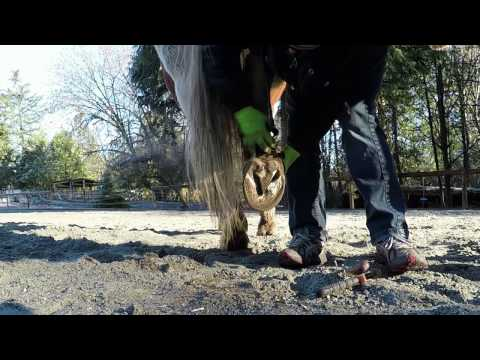 Taking Care of Horses : Cleaning Hooves Part 1