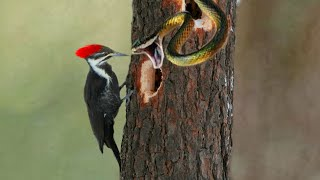 Bird Woodpecker Vs Snake On The Tree