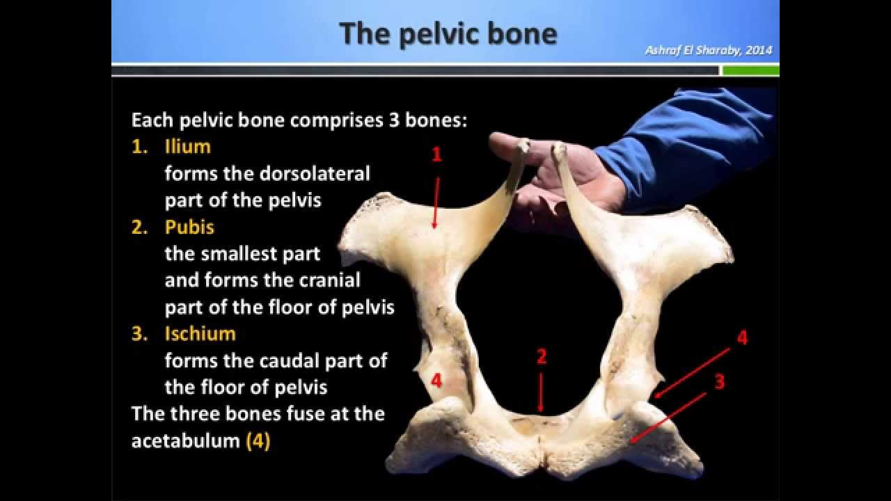 Anatomy of the pelvic bone of the domestic animals - YouTube