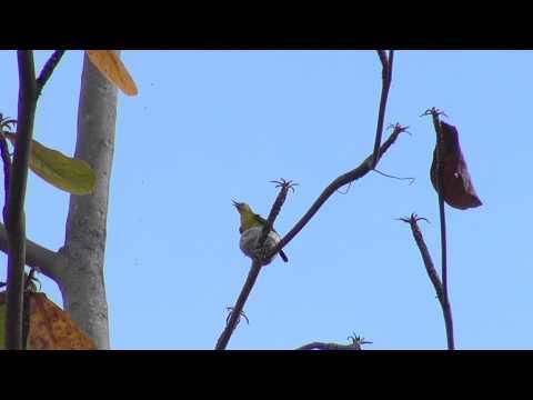 Chim Huýt cô (Vàng nghệ)