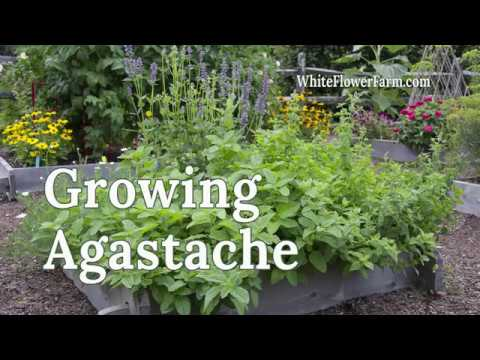 Growing Agastache
