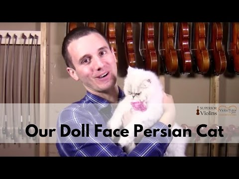 Our Doll Face Persian Cat