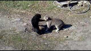 Весенняя драка котов