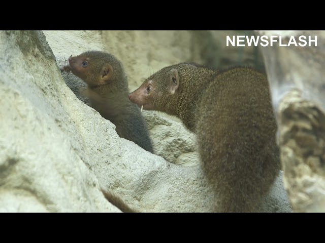 Three Adorable Dwarf Mongooses Venture Out Of Their Den For The First Time At Austrian Zoo