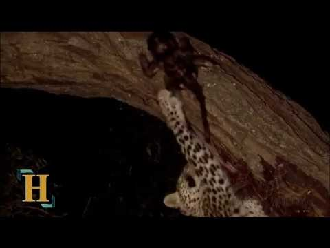 Leopard Takes Care Of Baby Baboon